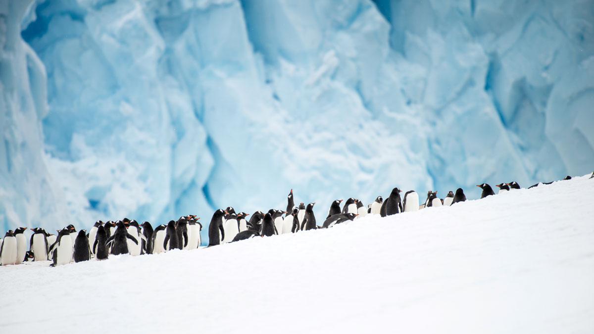 南極洲 Neko島上 巴布亞企鵝